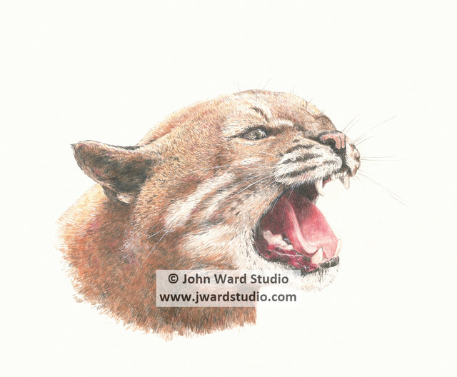 Wildcat white background by John Ward www.jwardstudio.com wildlife