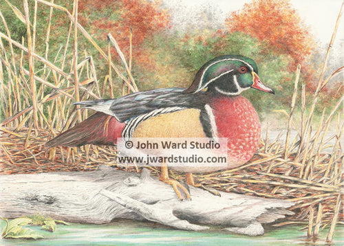 Wood Duck by John Ward www.jwardstudio.com duck wildlife bird