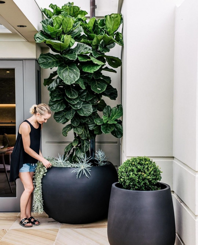 Perfect Patio Plants: The Fiddle Leaf Fig