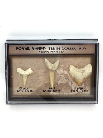 Fossil Shark Teeth Collection - Million Years Old