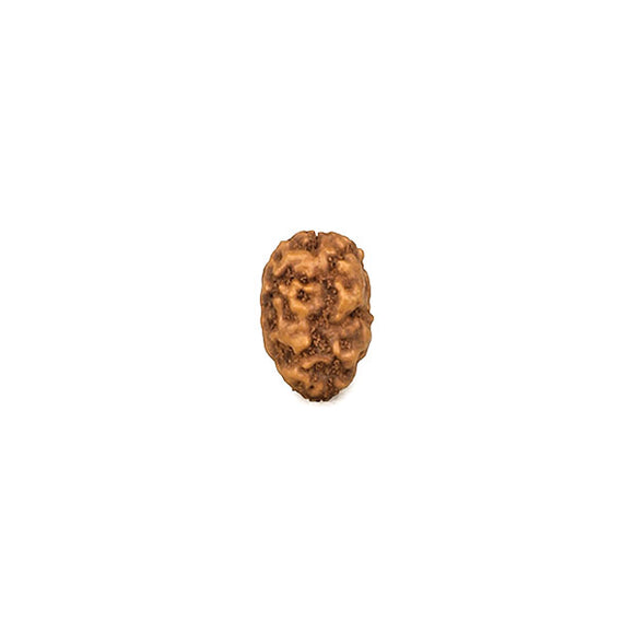 2 Faced Indonesian Rudraksha