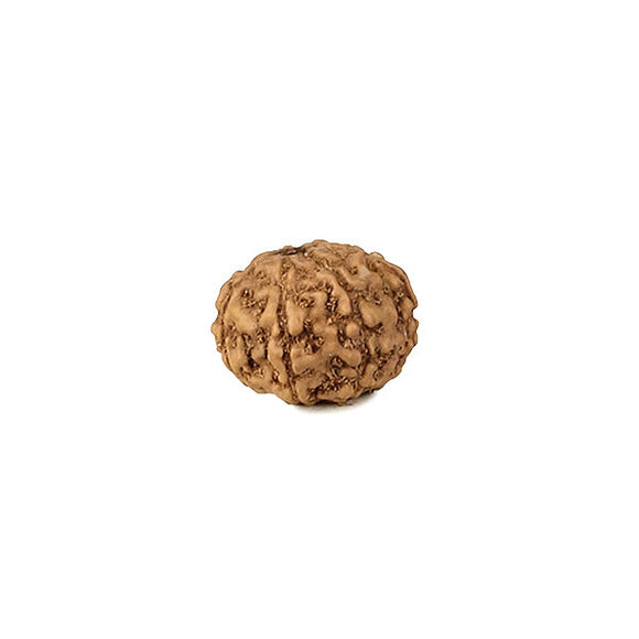 Java Rudraksha Eight Mukhi