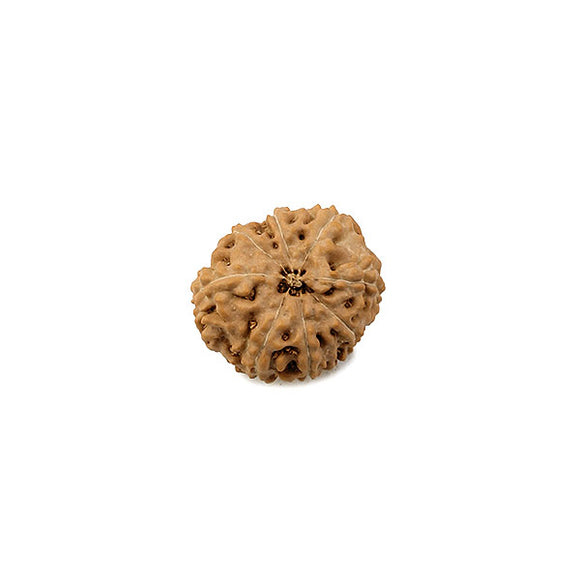 8 Mukhi Rudraksha From Indonesia