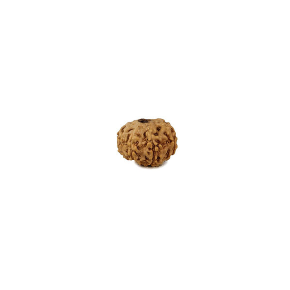 Java Rudraksha 8 Faced Bead