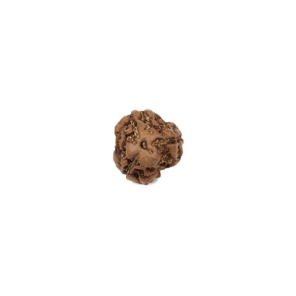 Three Mukhi - Java Rudraksha Bead