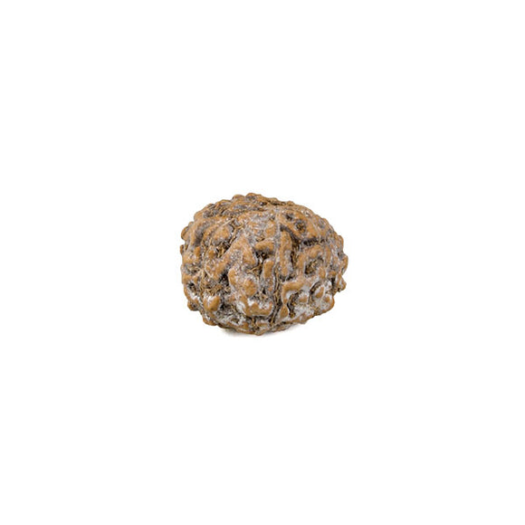 8 Faced Rudraksha Bead