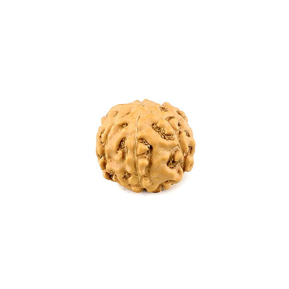 6 Faced Indonesian Rudraksha