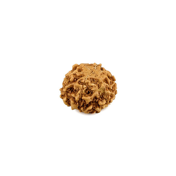 6 Mukhi Rudraksha Bead  From Java