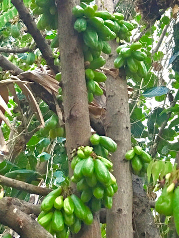 bilimbi on the tree