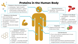Proteins in the Body Infographic