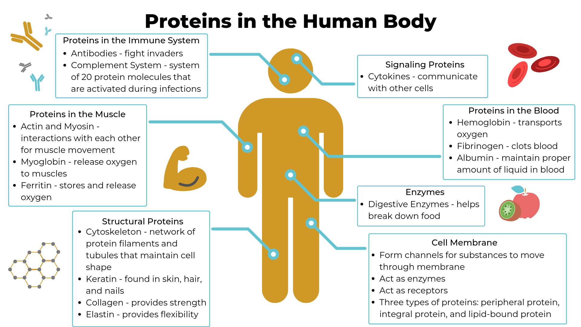 Infographic on the important proteins found in the human body