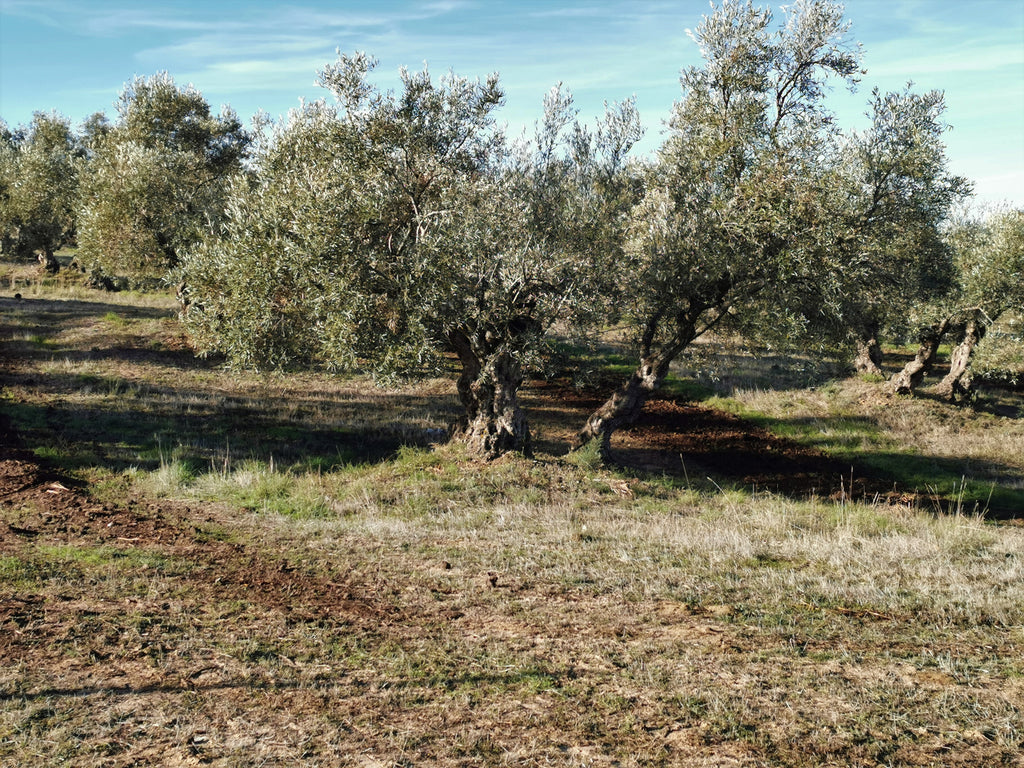 An ancient olive tree at Finca la Torre