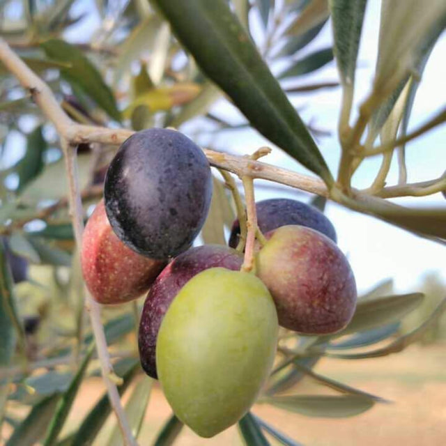 Olives on a tree in Jaen Andalucia