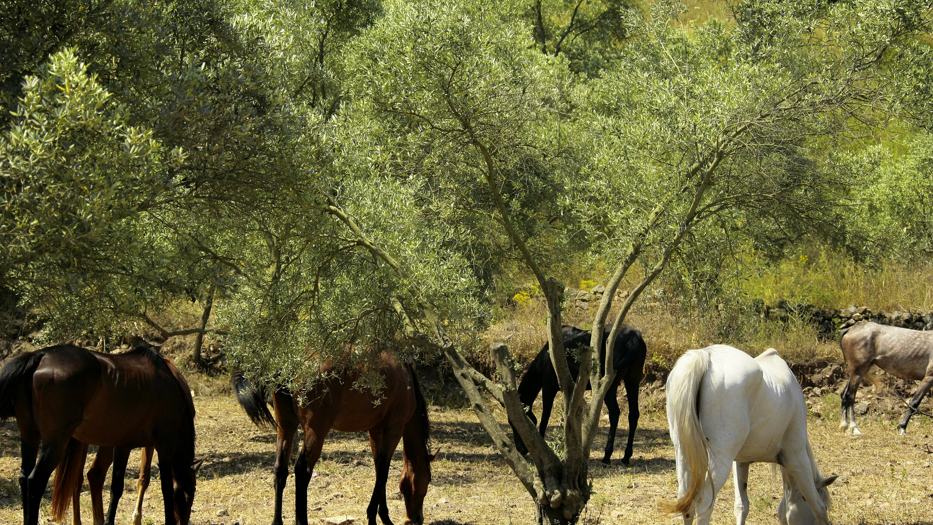 Horses grazing in the olive groves of Cortijo Espiritiu Santo