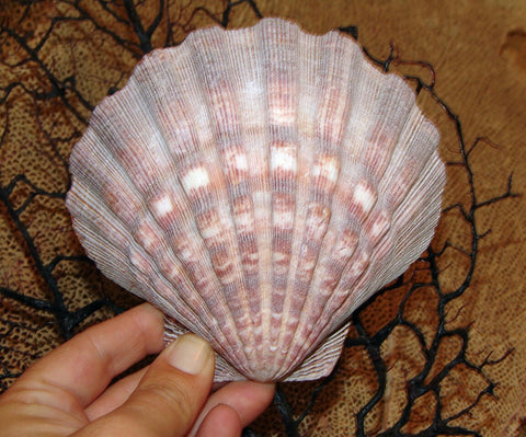 Natural Lions Paw Scallop Shell Large Seashells Coastal Accents Candles Soap Dish Mermaid Bra Orange & Rust Tone Seashell Home Decor Ocean