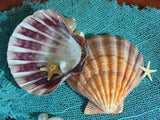Lions Paw Scallop Shell
