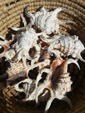 Rugosa Spider Conch Shell, Arthritic Spider Conch/ Spiny Seashells/ Spiky Seashells/ Loose Seashells