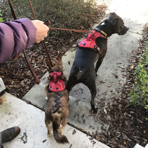 Two dogs in harnesses going for walk. Pit bull and corgi mix