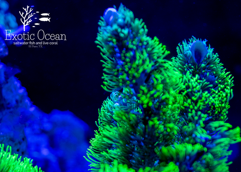 EO Branching Green Star Polyps