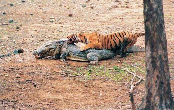 The Life Of Machli: Queen of Ranthambore – Shizzys Wildcat