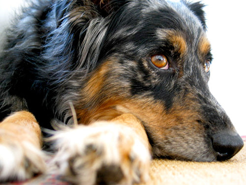 Does Your Dog Have Separation Anxiety? | PupLife Dog Supplies