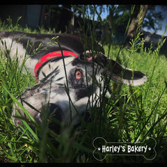 Harley in the grass
