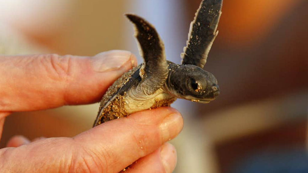 Half of dead baby turtles found by Australian scientists have stomachs full of plastic!
