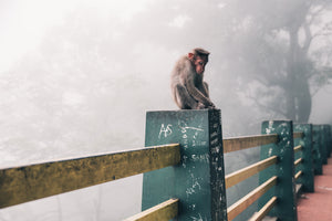 Snow Monkey Niseko