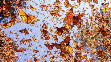 The Monarch Butterfly – A Migration in Peril
