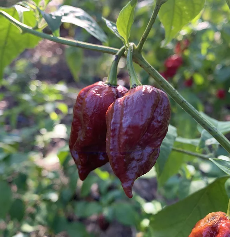 7 Pot Douglah Pepper Seeds Canada