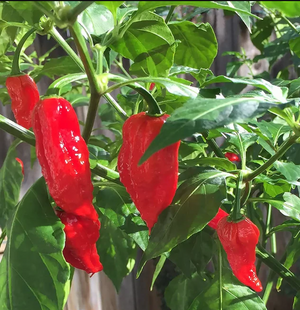 Ghost Pepper Seeds Canada
