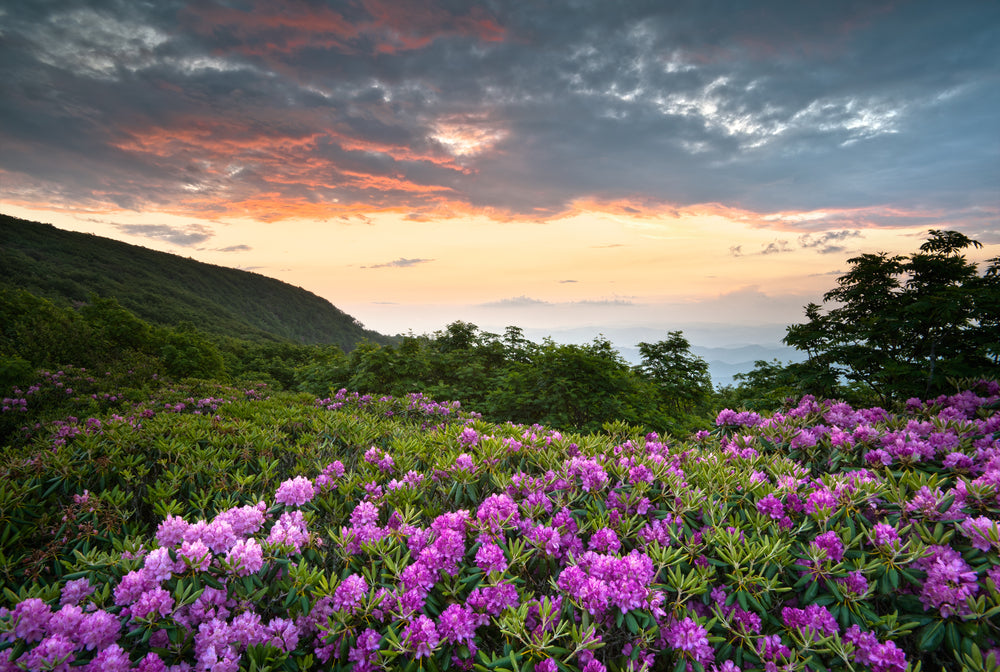Rhododendrons along the Blue Ridge Parkway