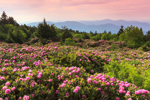 Wild Catawba Rhododendron in Roan Mountain State Park along the Blue Ridge Parkway