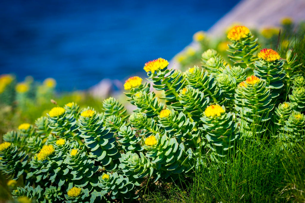 Rhodiola Rosea: The Adaptogen To Calm You Down!