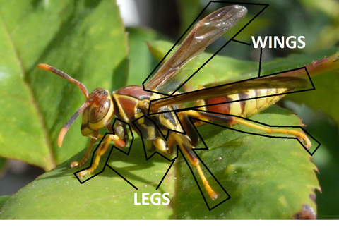 Outlined wasp thorax emphasizing the wings and legs.