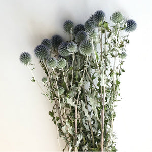 DRIED GLOBE THISTLES