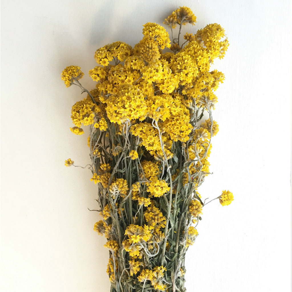 DRIED GOLDEN CLUSTER FLOWERS