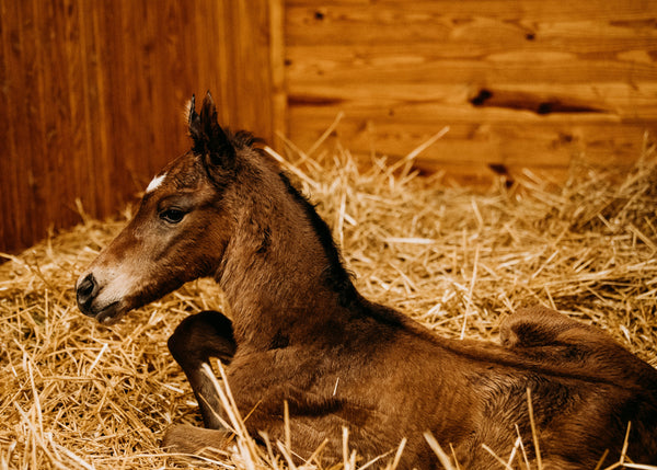 Beholder filly by War Front, photos by Spendthrift / Autry Graham