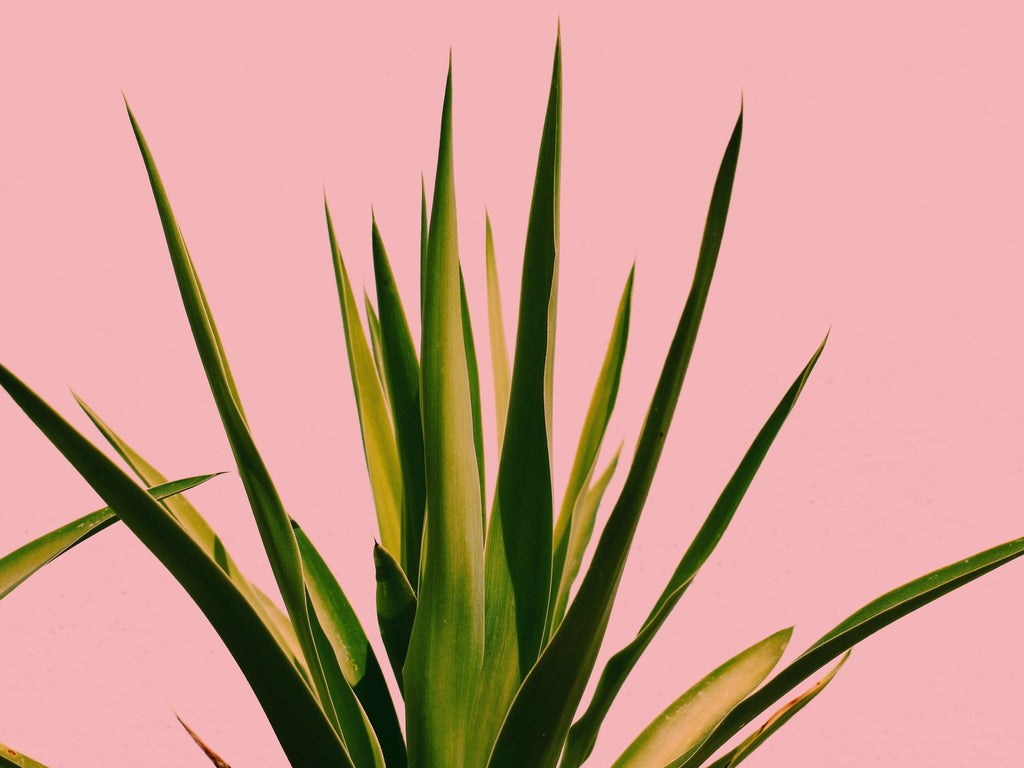Aloe Vera Not Just for Sunburn