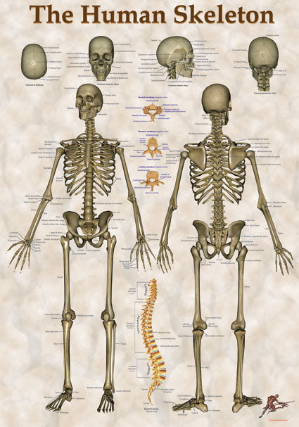 The Human Skeleton Chart