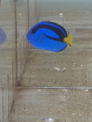 Blue Hippo Tang - Aquarium-Reefers Online Store