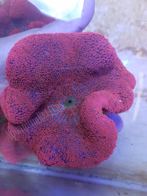 Red Haddoni Carpet Anemone