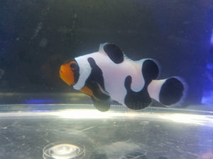 S&R MochaVinci Clown Fish Grade A - Aquarium-Reefers Online Store
