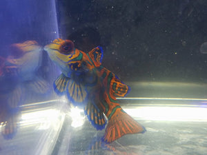 Red Mandarin Dragonet
