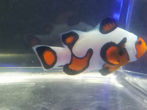 S&R DaVinci Clown Fish Grade A - Aquarium-Reefers Online Store
