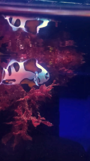 S&R Mocha Storm Clown Fish WYSIWYG - Aquarium-Reefers Online Store