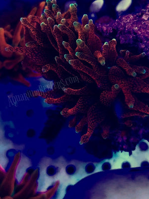 CC Supernova Bubble Tip Anemone