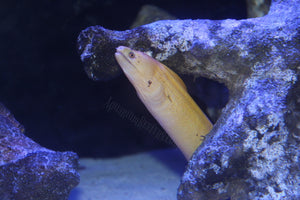 Banana Golden Moray Eel