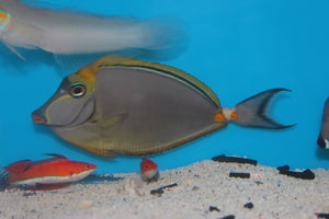 Blonde Naso Tang - Aquarium-Reefers Online Store