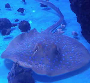 Blue Spotted Sting Ray WYSIWYG